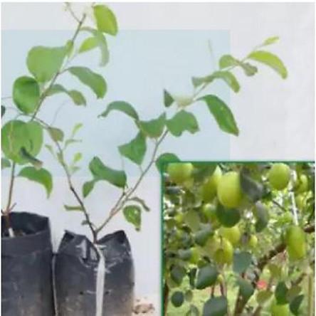 Cây giống táo lê Đài Loan - Táo Thái - cho trái to (8-11 quả/kg) vỏ mỏng, ăn giòn ngon và ngọt