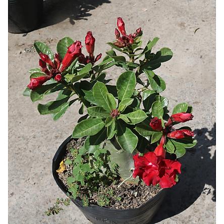 Cây sứ Thái gốc to đang có hoa và nụ ST9
