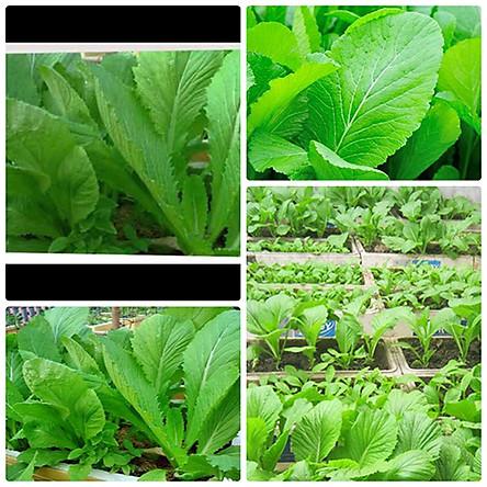 Hạt giống cải bẹ xanh mỡ RADO 57 (20g/gói) - Mustard greens seeds