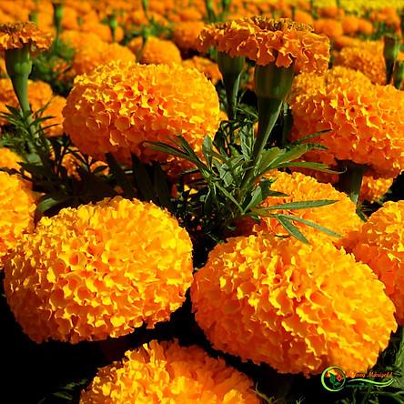 Bộ 1 gói Hạt giống hoa vạn thọ mỹ lùn màu cam- siêu hoa- hàng loại 1 -30 hạt