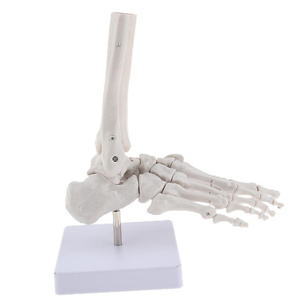 Medical Life Size Human Foot Joint Skeleton Anatomical Model, Human Anatomy, Teaching Tool
