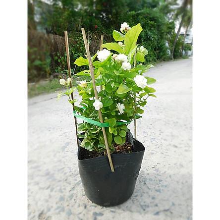 Cây Hoa Lài( Nhài) Chậu Nhựa