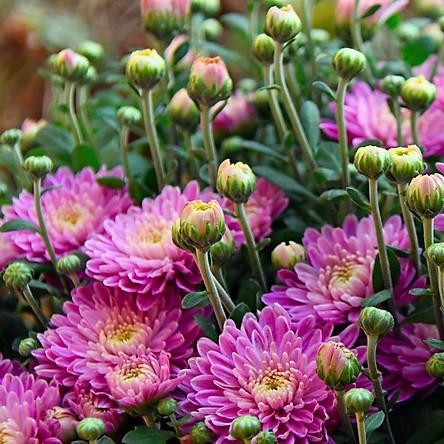 02 gói Hạt giống hoa Cúc Violet - hoa Cúc Tím VTP90