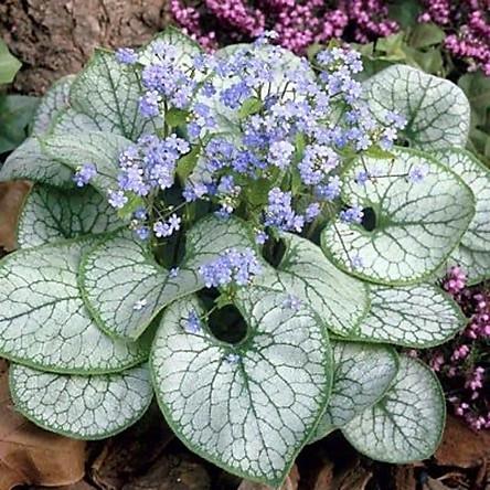 Cây Brunnera, lá hình trái tim, màu bạc sáng, gân xanh, bông điểm xanh dương siêu xinh