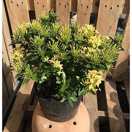 Chậu cây trang Thái hoa màu vàng