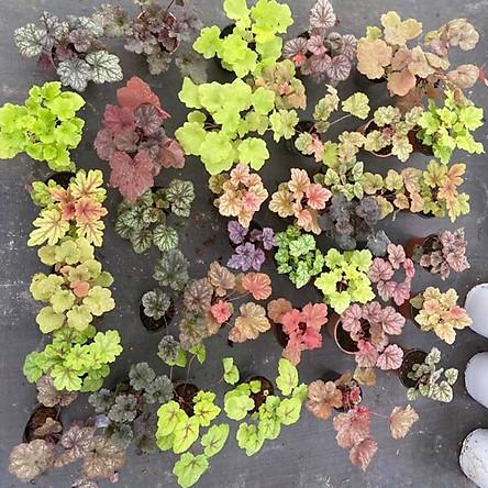 Cây chuông san hô- Heuchera- 45 màu lá để lựa chọn, inbox shop gửi hình