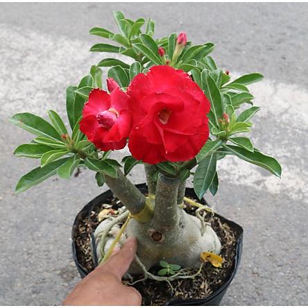 Cây sứ Thái gốc to đang có hoa và nụ ST1