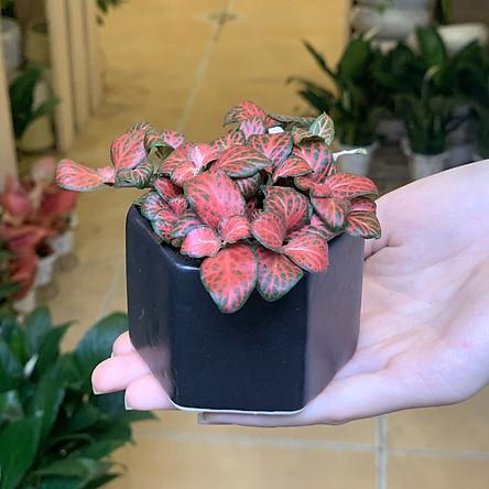 Cây Cẩm Nhung - 6x6x8 Cm - Lá Mầu Đỏ Viền Xanh - Tán Thấp - Cây Mini Để Bàn & Chậu Gốm Sứ Bát Tràng Trồng Cây Fittonia (May Mắn), Sen Đá, Xương Rồng, Tiểu Cảnh Terrarium - Chậu Lục Giác Đen