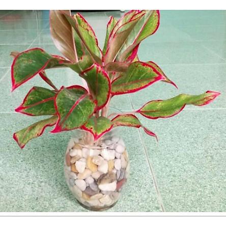 Cây phú quý lá viền đỏ thủy sinh