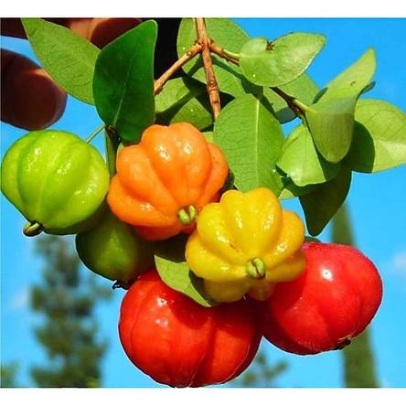 Cây Giống Cherry Surinam (Cherry Khía)
