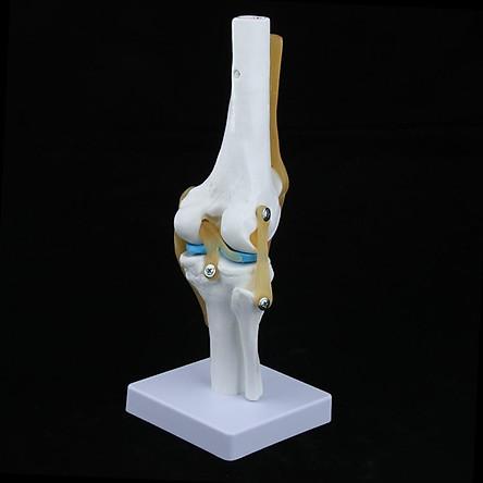 Life Size Human Odontologia Knee Joint Model Skull Anatomy for Teaching Nursing Training 32cm