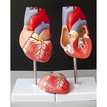 [11X11X22.5cm] Anatomical Human Life Size Heart Model l Cardiovascular Anatomy