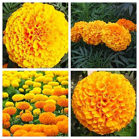 Bộ 3 gói Hạt giống hoa cúc vạn thọ mỹ - 200 hạt/gói