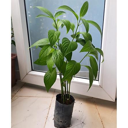Cây lá cẩm - bầu 5-6 cây