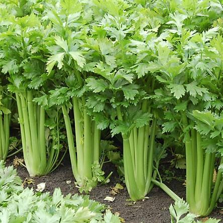 Bộ 1 gói Hạt giống rau cần tây chịu nhiệt