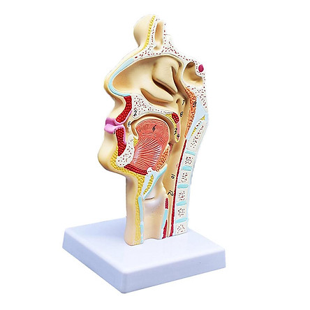 Human Anatomical Nasal Cavity Throat Anatomy Medical Model 4.7×4.7×9.5 inches