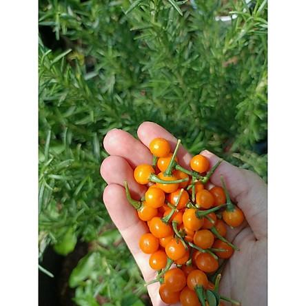 Gói 10 trái ớt peru Aji Charapita Mắc Nhất Thế Giới