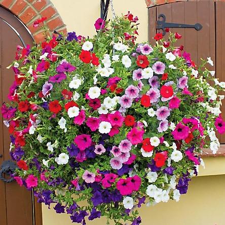02 gói Hạt giống hoa Dã Yên Thảo Italy Mix VTP74