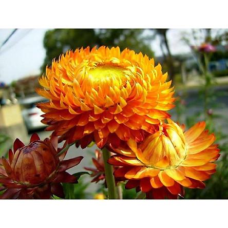 Bộ 1 gói Hạt giống hoa cúc bất tử