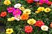 thumb Bộ 3 Gói Hạt Giống Trồng Chậu Để Bàn Hoa Đẹp Dễ Trồng
