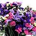 5 Gói Hạt Giống Hoa Salem Mix (50 hạt / gói) - hình 2