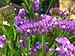 5 Gói Hạt Giống Hoa Salem Mix (50 hạt / gói) - hình 3