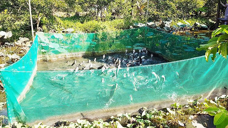 Xem màn trình diễn cá lóc bay ở Cồn Sơn