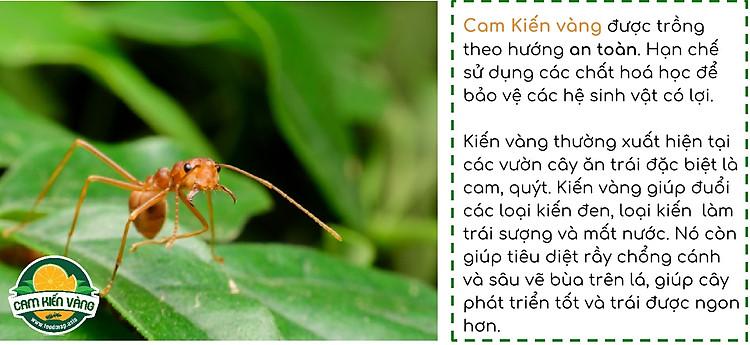 Cam kiến vàng