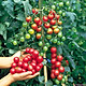 Bộ 1 gói Hạt giống cà chua bi đỏ cây cao