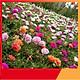 Hạt Giống Hoa Mười Giờ Mỹ Kép Mix High Quality Seeds - Nảy Mầm Cực Chuẩn