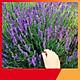 Hạt Giống Hoa Oải Hương - Nảy Mầm Cực Chuẩn