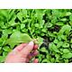 Hạt giống cải xanh ăn non gói 20gram