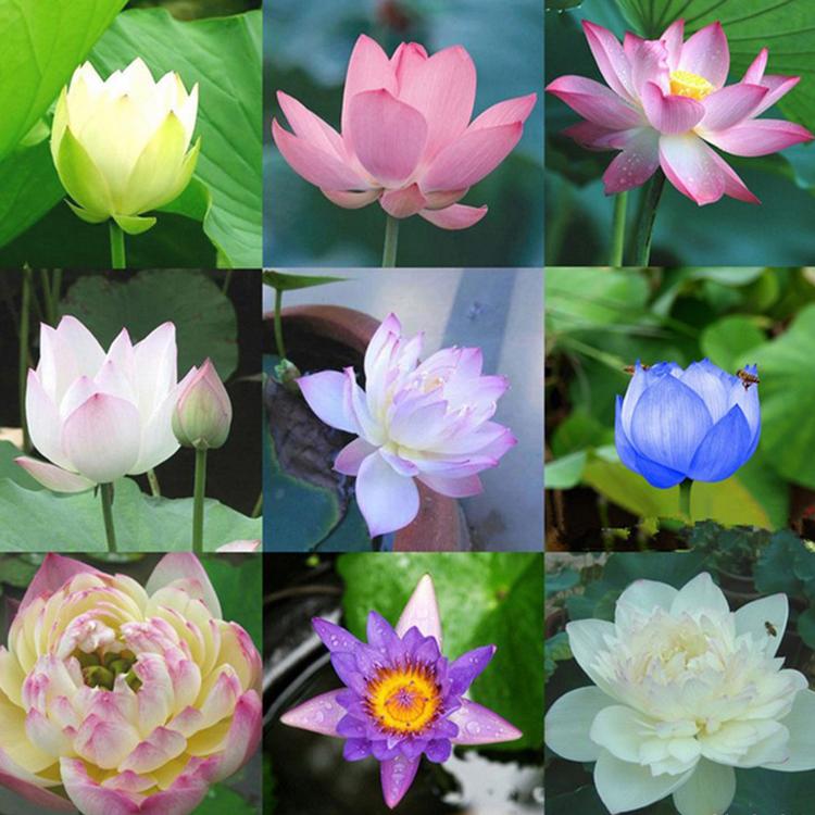 Gói 15 Hạt Giống Sen Mini Nhật Bản Siêu Khuyến Mãi Hoa Đẹp Dễ Trồng
