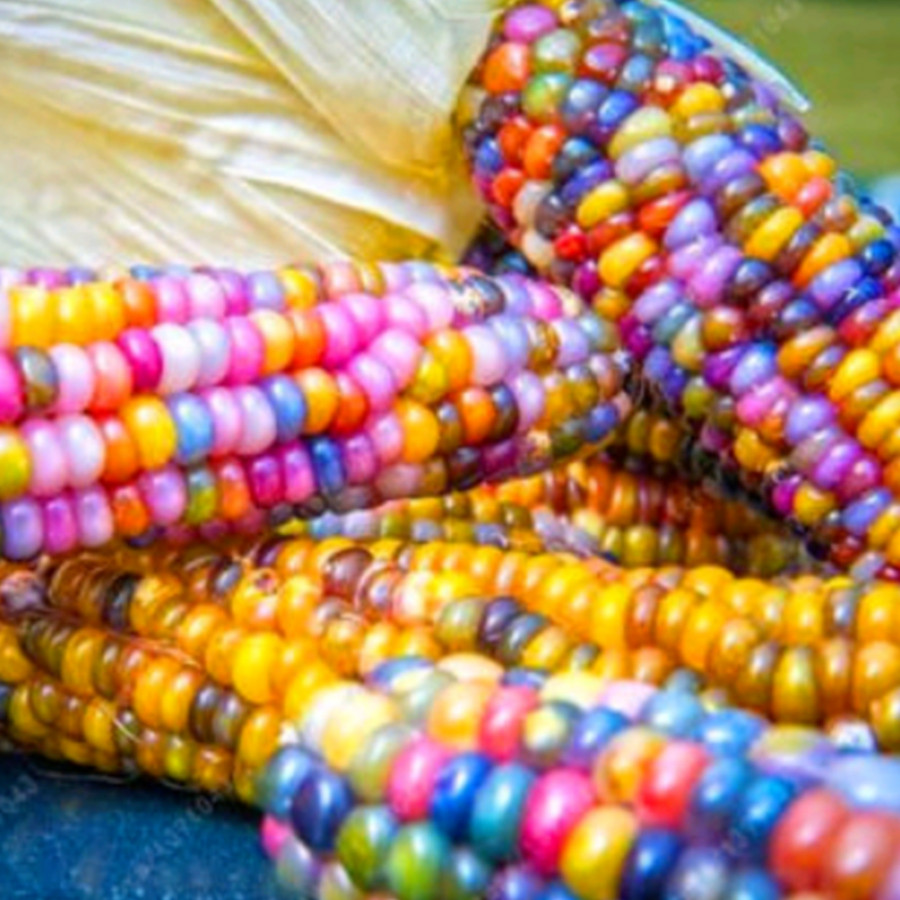 Maize Seeds Indian Corn Seeds Delicious 30PCS/Bag Vegetable Garden Potted