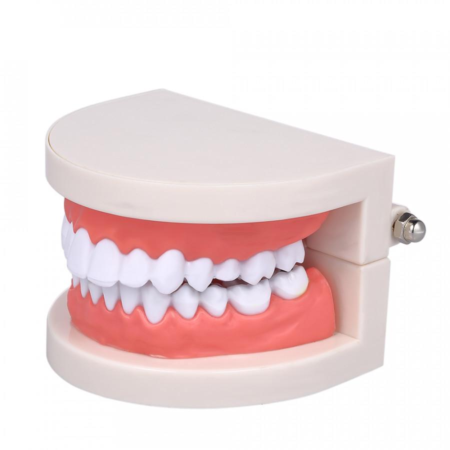 Standard Tooth Teaching Giant Dental Dentist Teeth Model Child Kidtraining Model Disease Teeth Medical Educational Model