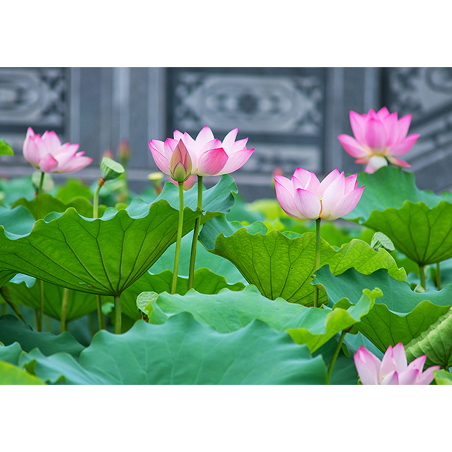 Tranh dán tường 3d | Tranh dán tường phong thủy hoa sen cá chép 3d 125 - 1319382 , 6225967834114 , 62_5318357 , 450000 , Tranh-dan-tuong-3d-Tranh-dan-tuong-phong-thuy-hoa-sen-ca-chep-3d-125-62_5318357 , tiki.vn , Tranh dán tường 3d | Tranh dán tường phong thủy hoa sen cá chép 3d 125