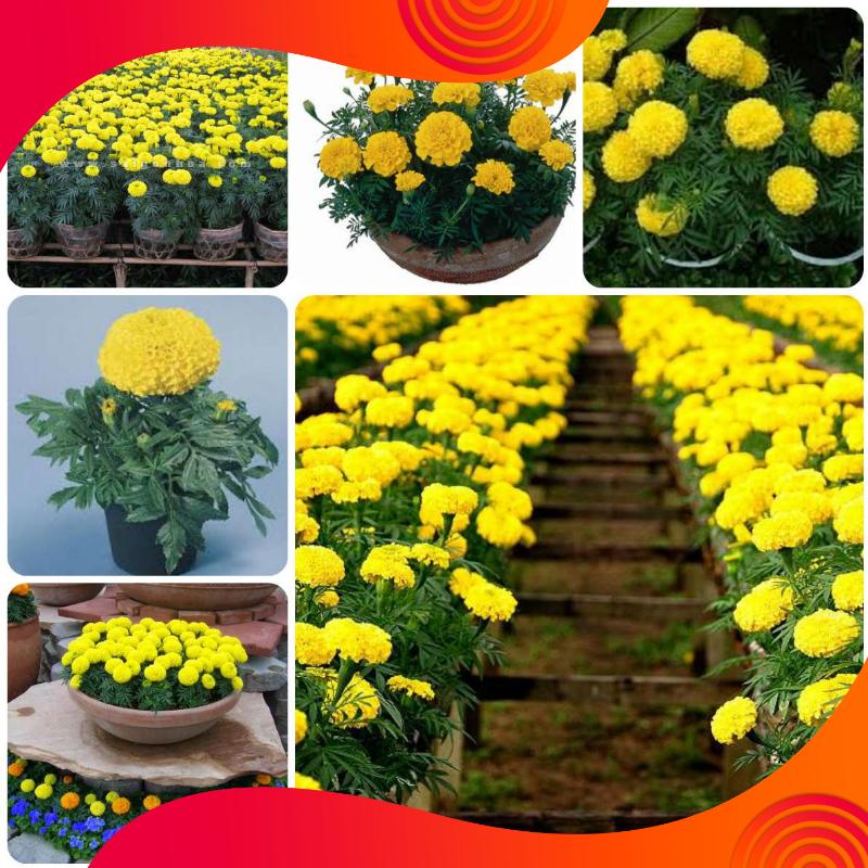 01 Gói Hạt Giống Hoa Cúc Vạn Thọ Mỹ - Nảy Mầm Cực Chuẩn