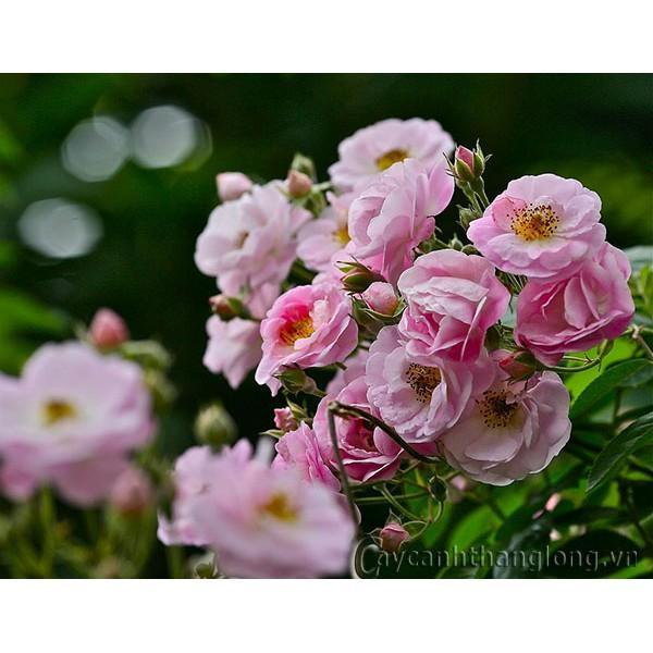 HẠT Giống Hồng leo Tầm Xuân hồng cánh kép siêu hoa siêu nụ 10 hạt ĐẾN MÙA TRỒNG TẾT