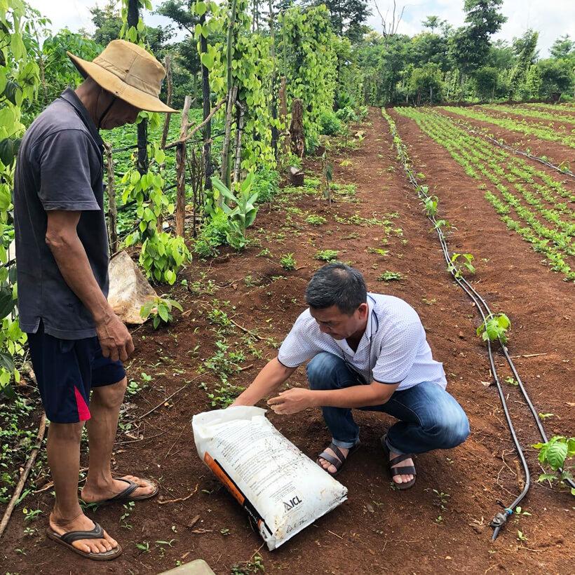 Phân bón hòa tan Israel NPK NovAcid 22-11-11+6MgO+Te giúp thúc cây bung chồi non đồng loạt, tăng kích cở trái thông qua hệ thống tưới nhỏ giọt bón gốc hay phun lên lá