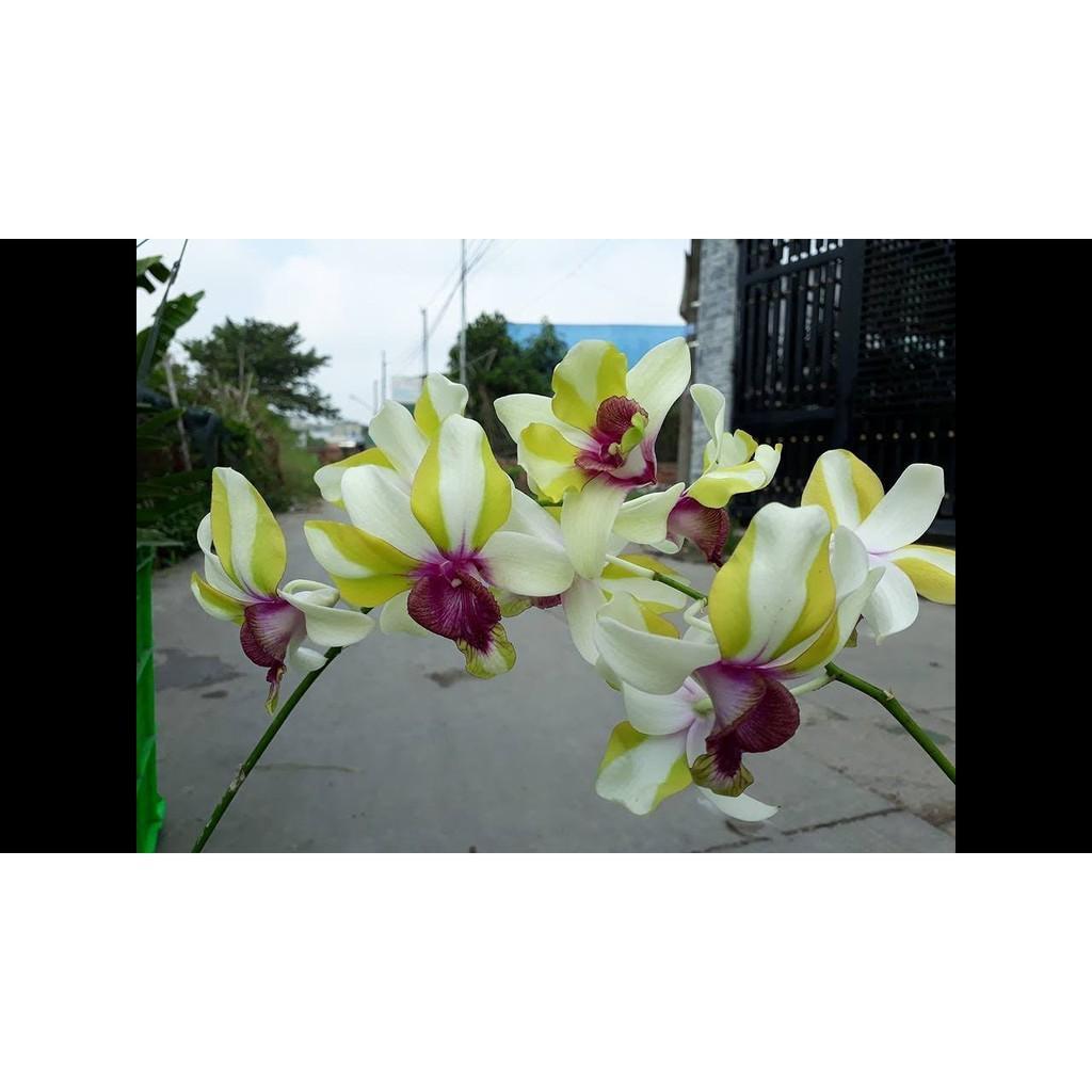 Dendro lai Cat Mắt Rồng - Cây tơ sắp cho hoa