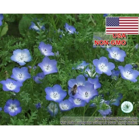 20h Hạt Giống Hoa Tình Yêu BABY BLUE (C5.202| B17*V22)