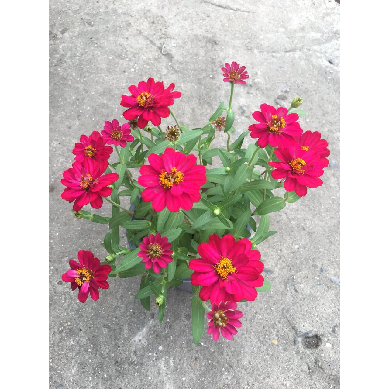 Cây Hoa Cúc Trang Trí MS4