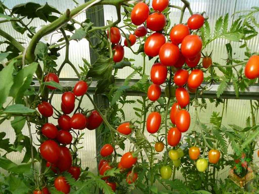 Hạt giống cà chua cherry F1- A6 0.5g