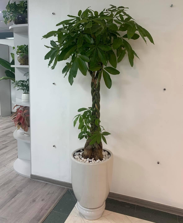 Chậu cây Kim Ngân - đường kính 40 x cao 170 cm - cây cảnh chúc mừng khai trương, tân gia