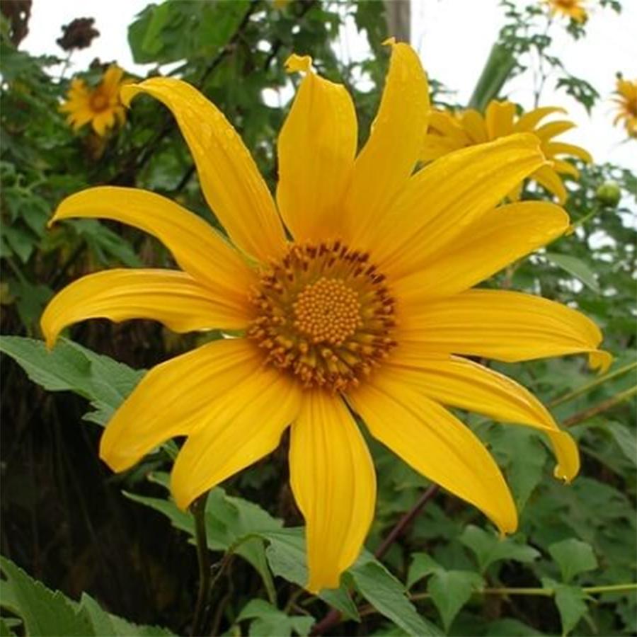 Combo 2 gói Hạt giống hoa Dã quỳ Golden Seeds 50 Hạt