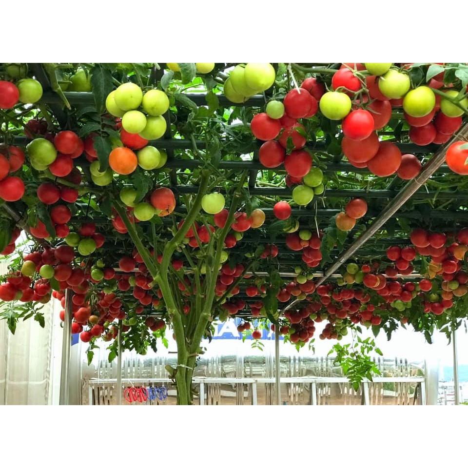 Cà Chua Bạch Tuộc ( Cà chua leo giàn) 10 hạt
