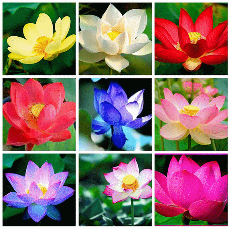 Bộ 1 gói Hạt giống hoa sen nhật mini- sen bát - The Xanh- 5 hạt 5 màu