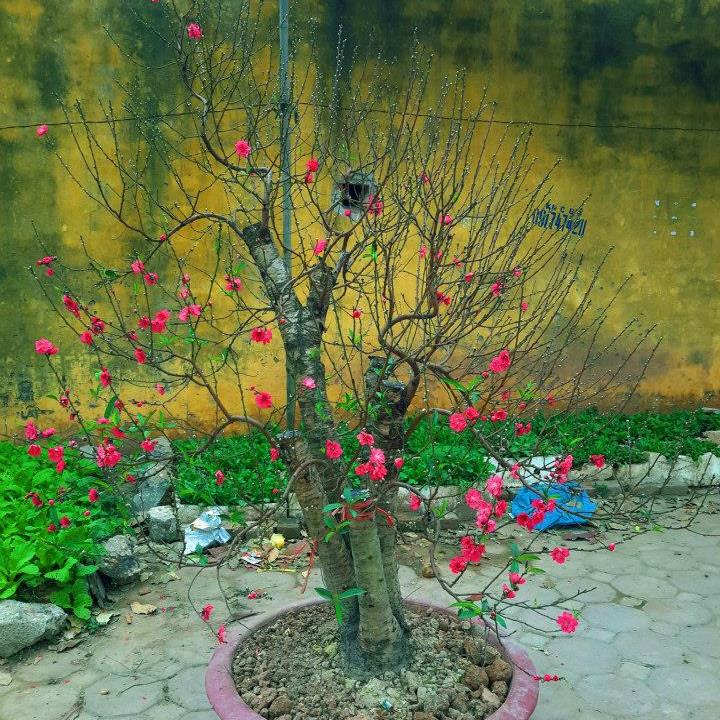 Cây hoa Đào Tết mẫu số 005