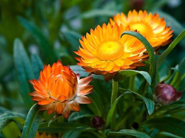 Hạt giống hoa cúc bất tử lùn 1