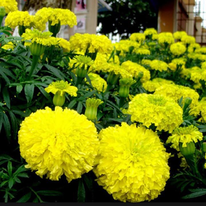 Hạt giống hoa cúc Vạn thọ 2